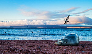 Galapagos Sea Lion (Zalophus californianus wollebacki) resting on a red sand beach, Brown pelicans (Pelecanus occidentalis) feeding on fish behind her. North Seymour Island, Galapagos, Ecuador. Decemb...  -  Shane Gross