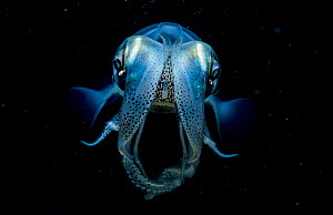 Caribbean reef squid (Sepioteuthis sepioidea) portrait at night, Eleuthera, Bahamas.  -  Shane Gross