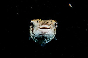 Spotted porcupinefish (Diodon hystrix) at night in The Bahamas.  -  Shane Gross
