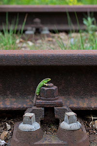 Sand lizard (Lacerta agilis) male on unused railway line, the Netherlands.  -  Edwin Giesbers