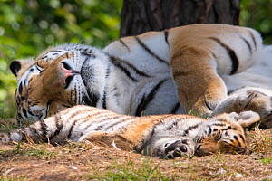 Siberian tiger (Panthera tigris altaica) female and cub, age 3 months, asleep resting, Captive  -  Edwin Giesbers