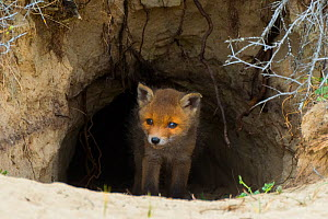 Red fox (Vulpes vulpes) cub age five weeks, at den in sand dunes, the Netherlands.  -  Edwin Giesbers