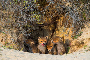 Red fox (Vulpes vulpes) cubs age five weeks, at den in sand dunes, the Netherlands.  -  Edwin Giesbers