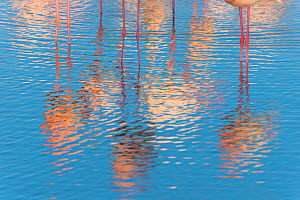 Greater flamingo (Phoenicopterus roseus) reflections in water, abstract, Pont Du Gau Park, Camargue, France.  -  Edwin Giesbers