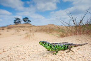 Sand lizard (Lacerta agilis) male in sand dunes, wide angle shot, the Netherlands.  -  Edwin Giesbers