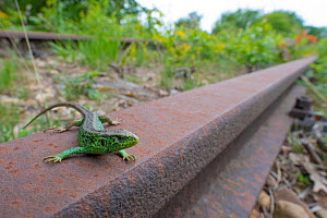Sand lizard (Lacerta agilis) male on disused railway, wide angle view, the Netherlands.  -  Edwin Giesbers