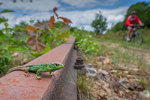 Sand lizard (Lacerta agilis) male; wide angle view in old unused railway line; lizard habitat, the Netherlands.  -  Edwin Giesbers