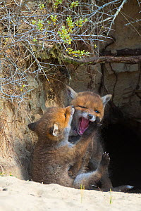 Red fox (Vulpes vulpes) cubs age five weeks, playing at entrance to den in sand dunes, the Netherlands.  -  Edwin Giesbers