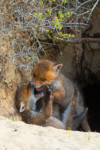 Red fox (Vulpes vulpes) cubs age five weeks, playing in den in sand dunes, the Netherlands.  -  Edwin Giesbers