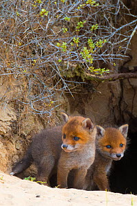 Red fox (Vulpes vulpes) cubs age five weeks, at entrance to den in sand dunes, the Netherlands.  -  Edwin Giesbers