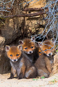 Red fox (Vulpes vulpes) cubs age five weeks, in den in sand dunes, the Netherlands.  -  Edwin Giesbers