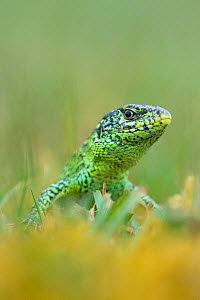 RF - Sand lizard (Lacerta agilis) the Netherlands. (This image may be licensed either as rights managed or royalty free.)  -  Edwin Giesbers