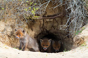 RF - Red fox (Vulpes vulpes) cubs age five weeks, at den in sand dunes, the Netherlands. (This image may be licensed either as rights managed or royalty free.)  -  Edwin Giesbers