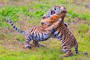 RF - Siberian tiger (Panthera tigris altaica) cubs age 3 months playing. Captive. (This image may be licensed either as rights managed or royalty free.)  -  Edwin Giesbers