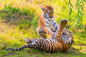 RF - Siberian tiger (Panthera tigris altaica) cubs, age three months, playing. Captive. (This image may be licensed either as rights managed or royalty free.)  -  Edwin Giesbers