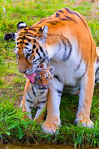 RF - Siberian tiger (Panthera tigris altaica) female grooming cub age three months, captive. (This image may be licensed either as rights managed or royalty free.)  -  Edwin Giesbers