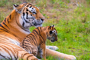 RF - Siberian tiger (Panthera tigris altaica) female with cub age three months, captive. (This image may be licensed either as rights managed or royalty free.)  -  Edwin Giesbers