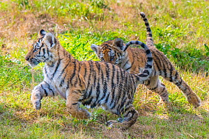 RF - Siberian tiger (Panthera tigris altaica) cubs,age three months, playing, captive. (This image may be licensed either as rights managed or royalty free.)  -  Edwin Giesbers