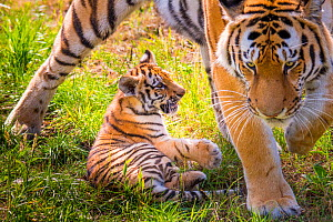 RF - Siberian tiger (Panthera tigris altaica) female with cub age 3 months, captive. (This image may be licensed either as rights managed or royalty free.)  -  Edwin Giesbers