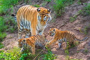 RF - Siberian tiger (Panthera tigris altaica) female with cubs age 3 months, captive. (This image may be licensed either as rights managed or royalty free.)  -  Edwin Giesbers