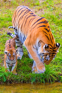 RF - Siberian tiger (Panthera tigris altaica) female with cub age 3 months at water, captive. (This image may be licensed either as rights managed or royalty free.)  -  Edwin Giesbers