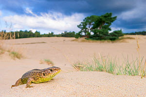 RF - Sand lizard (Lacerta agilis) female in sand dunes, the Netherlands. July. (This image may be licensed either as rights managed or royalty free.)  -  Edwin Giesbers