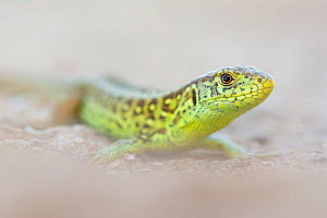 RF - Sand lizard (Lacerta agilis) male, the Netherlands. June. (This image may be licensed either as rights managed or royalty free.)  -  Edwin Giesbers