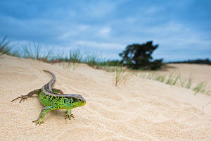 RF - Sand lizard (Lacerta agilis) male on sand dune, the Netherlands. May. (This image may be licensed either as rights managed or royalty free.)  -  Edwin Giesbers