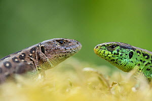 RF - Sand lizard (Lacerta agilis) male female pair, head to head, the Netherlands. June. (This image may be licensed either as rights managed or royalty free.)  -  Edwin Giesbers