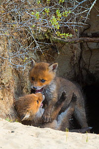 RF - Red fox (Vulpes vulpes) cubs age five weeks, playing at entrance to den, the Netherlands. April. (This image may be licensed either as rights managed or royalty free.)  -  Edwin Giesbers
