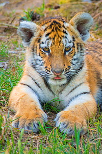 RF - Siberian tiger (Panthera tigris altaica) cub, age 3 months. Captive. (This image may be licensed either as rights managed or royalty free.)  -  Edwin Giesbers
