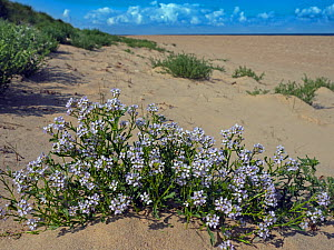 European searocket (Cakile maritima) flowers, Thornham Dunes, Norfolk, England, UK, August.  -  Ernie  Janes