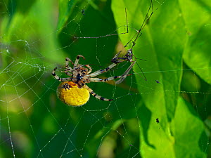 Common orb weaver spider (Metellina segmentata) in garden, Norfolk, England, UK, August. - Ernie  Janes