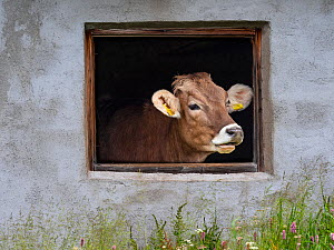 Dairy cow looking out of shed window, Seiser Alm, Dolomites plateau, South Tyrol, Italy, July.  -  Ernie  Janes