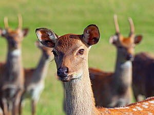 Formosan sika deer (Cervus nippon taiouanus) female with males behind, captive, native to Taiwain. Extinct in the wild.  -  Ernie  Janes