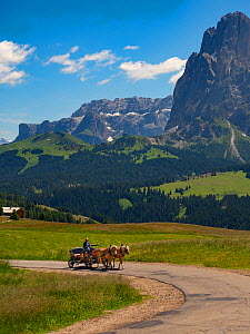 Man driving cart with Haflinger horses, Seiser Alm, Dolomites, South Tyrol, Italy, July 2019.  -  Ernie  Janes