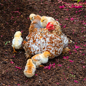 Domestic farmyard hen with newly hatched chicks.  -  Ernie  Janes