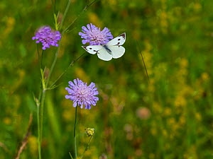 Large white butterfly (Pieris brassicae) in flight to feed on scabious flowers, Norfolk, England, UK, July.  -  Ernie  Janes
