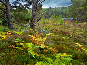 Bracken ( (Pteridium aquilinum), heather (Calluna vulgaris), and Scots pines (Pinus sylvestris) Loch an Eilein, Cairngorms National Park, Scotland, UK, September.  -  Ernie  Janes