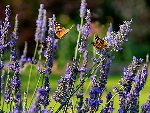 Painted lady butterfly (Cynthia cardui) feeding on lavender flowers in garden. Norfolk, England, UK. - Ernie  Janes