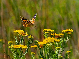 Painted lady butterfly (Cynthia cardui) flying to feed on Fleabane in garden. Norfolk, England, UK. - Ernie  Janes