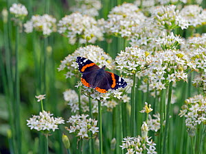 Red admiral butterfly (Vanessa atalanta) in flight to Garlic chive (Allium tuberosum) flowers, Norfolk, England, UK. August.  -  Ernie  Janes