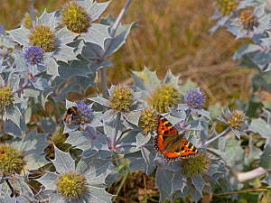 Small Tortoiseshell Butterfly (Aglais urticae) feeding on Sea holly (Eryngiums maritimum) Thornham Dunes, Norfolk, England, UK. August  -  Ernie  Janes