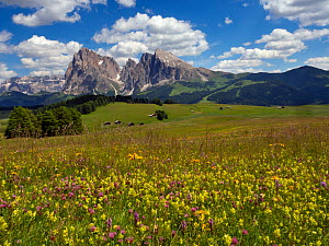 Alpine flower meadow landscape - Seiser Alm with mountains of Langkofel Group in the background. Dolomoites, South Tyrol, Italy. July 2019.  -  Ernie  Janes