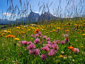 Alpine flower meadow landscape - Seiser Alm with mountains of Langkofel Group in the background. Dolomoites, South Tyrol, Italy.. July 2019.  -  Ernie  Janes