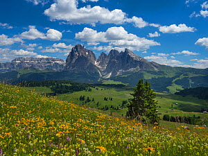 Alpine meadow landscape - Seiser Alm with mountains of Langkofel Group in the background. Dolomoites, South Tyrol, Italy. July 2019.  -  Ernie  Janes