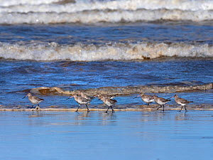 Bar-tailed godwits (Limosa lapponica) flock feeding feeding on Titchwell beach RSPB Reserve, Norfolk, England, UK.  -  Ernie  Janes