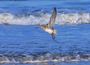 Bar-tailed godwit (Limosa lapponica) in flight over the Wash, Norfolk, England, UK, November.  -  Ernie  Janes
