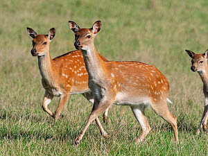 RF - Formosan sika deer (Cervus nippon taiouanus) two females running, captive. (This image may be licensed either as rights managed or royalty free.)  -  Ernie  Janes