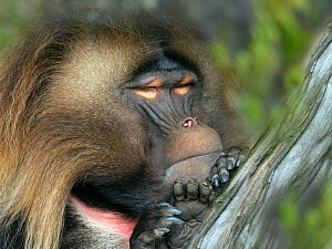 RF - Gelada baboon (Theropithecus gelada) male resting, captive. (This image may be licensed either as rights managed or royalty free.)  -  Ernie  Janes